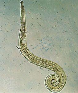 pinworm paraziták