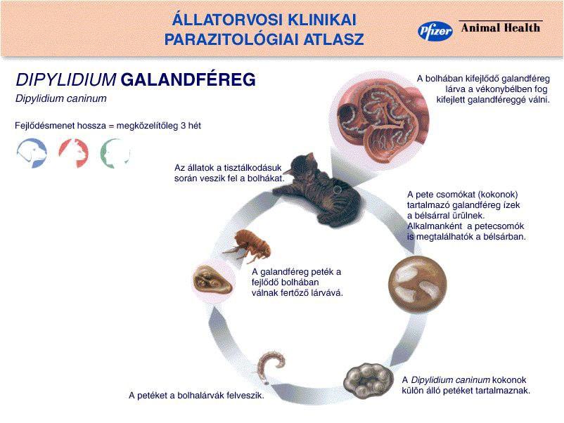mi a galandféreg milyen gyógyszer