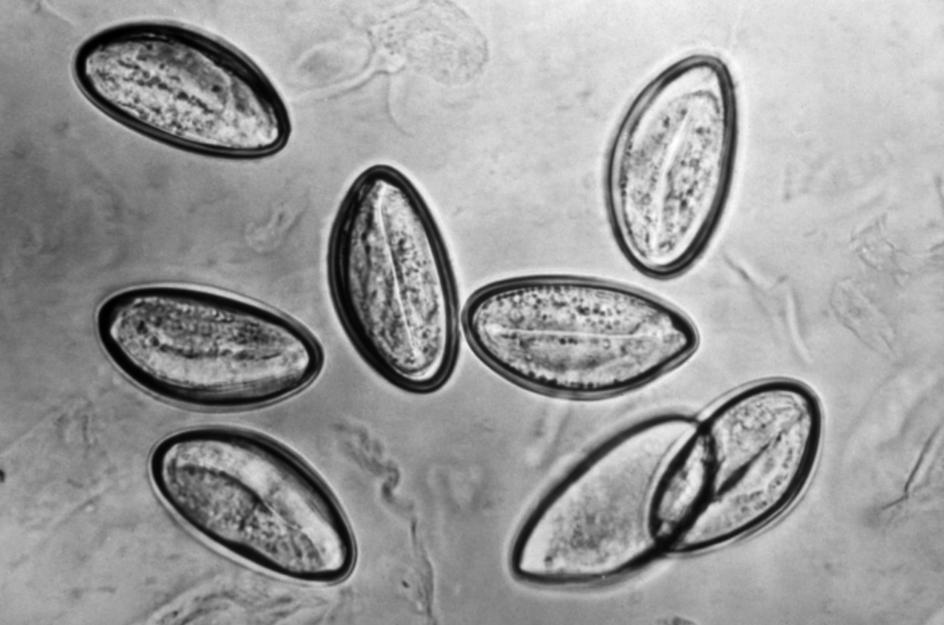 paraziták típusú laposférgek