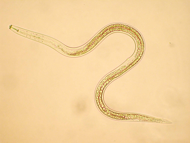 patológia paraziták