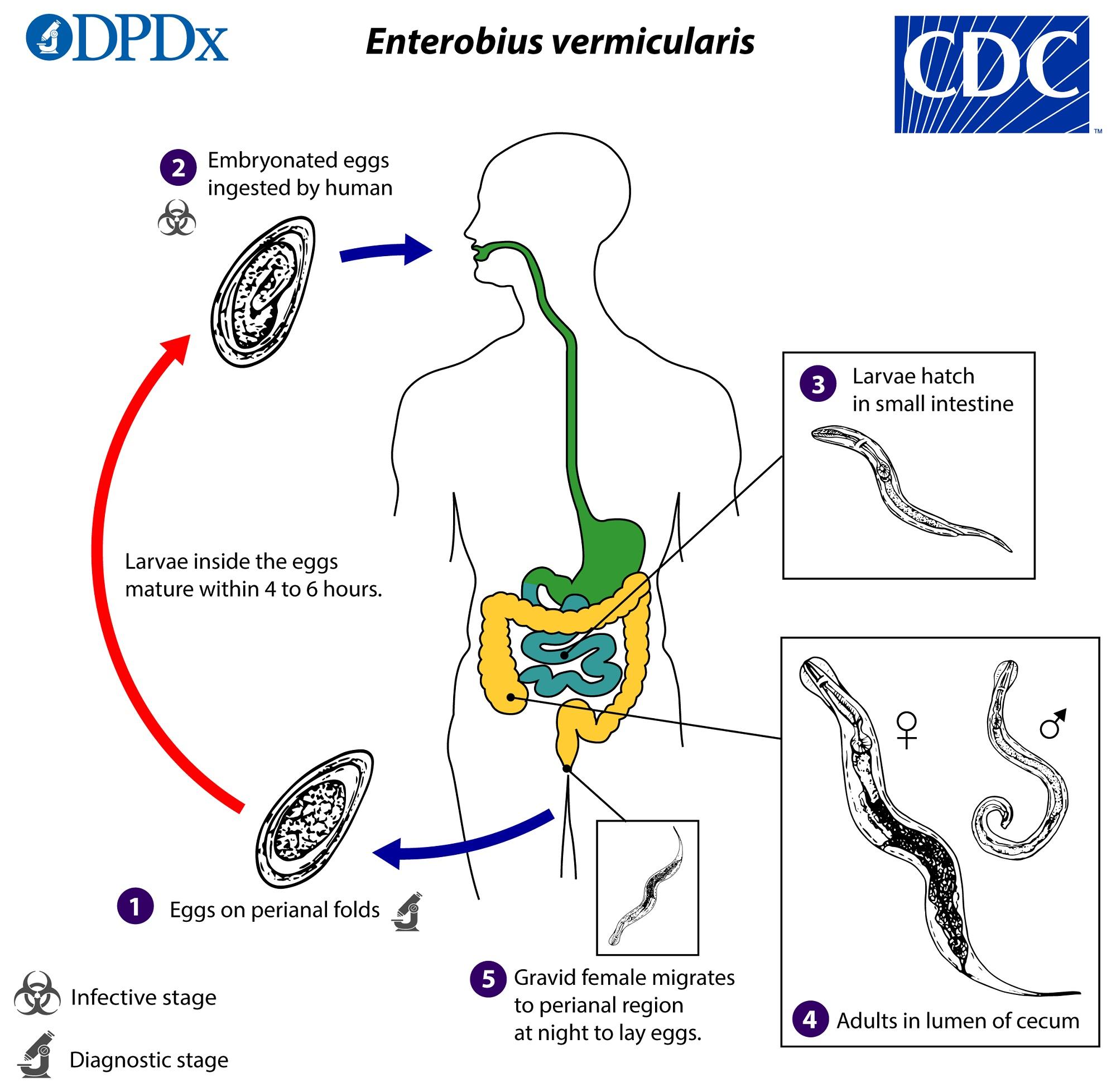 az enterobiasis inkubációs periódusa