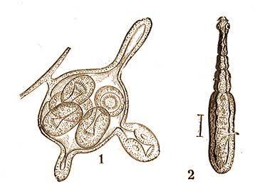 Helminták törpe galandféreg. Paraziták vannak a pisztrángban