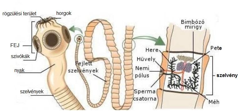mit eszik a parazita a testben