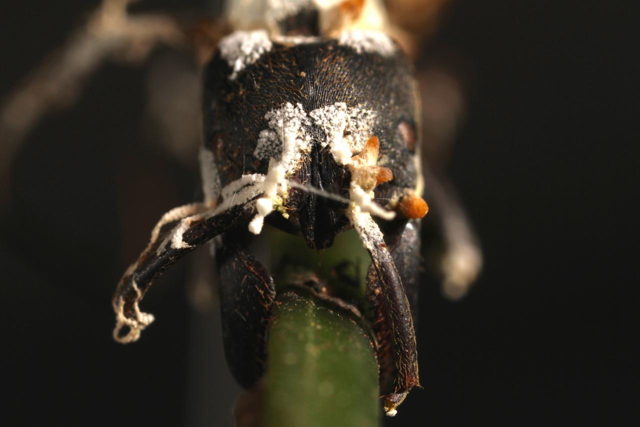 a hangyán keresztüli fertőzés parazitával lehetséges a szarvasmarha galandféreg parazita jelei