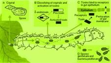 a legjobb gyógyszerek az enterobiasis kezelésére