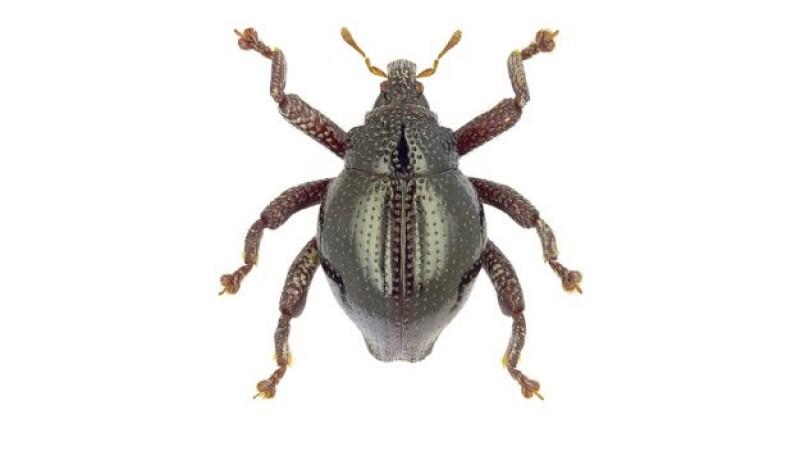 gömbölyű bogarak