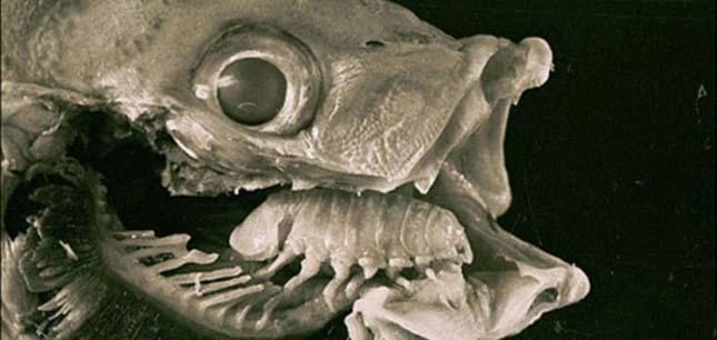garnélarák parazita