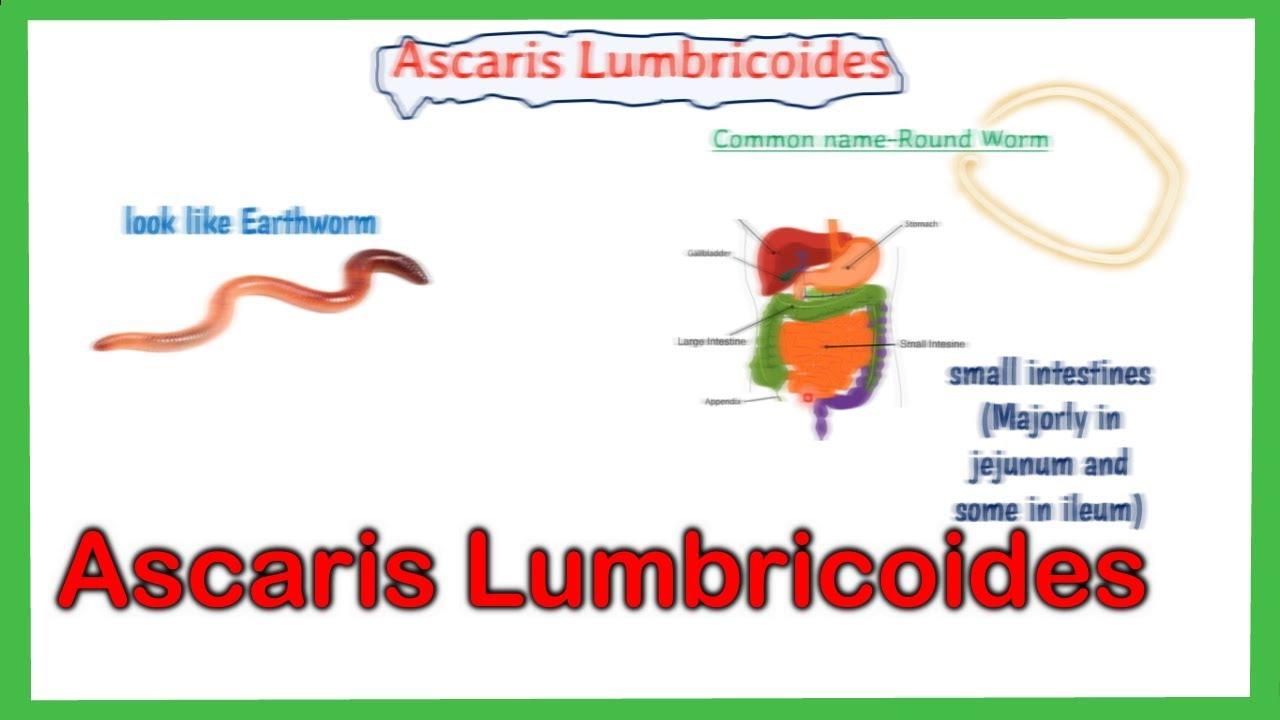 a szarvasmarha- galandféreg és az emberi orsóféreg testürege emberek ascaris fertőzésének jelei