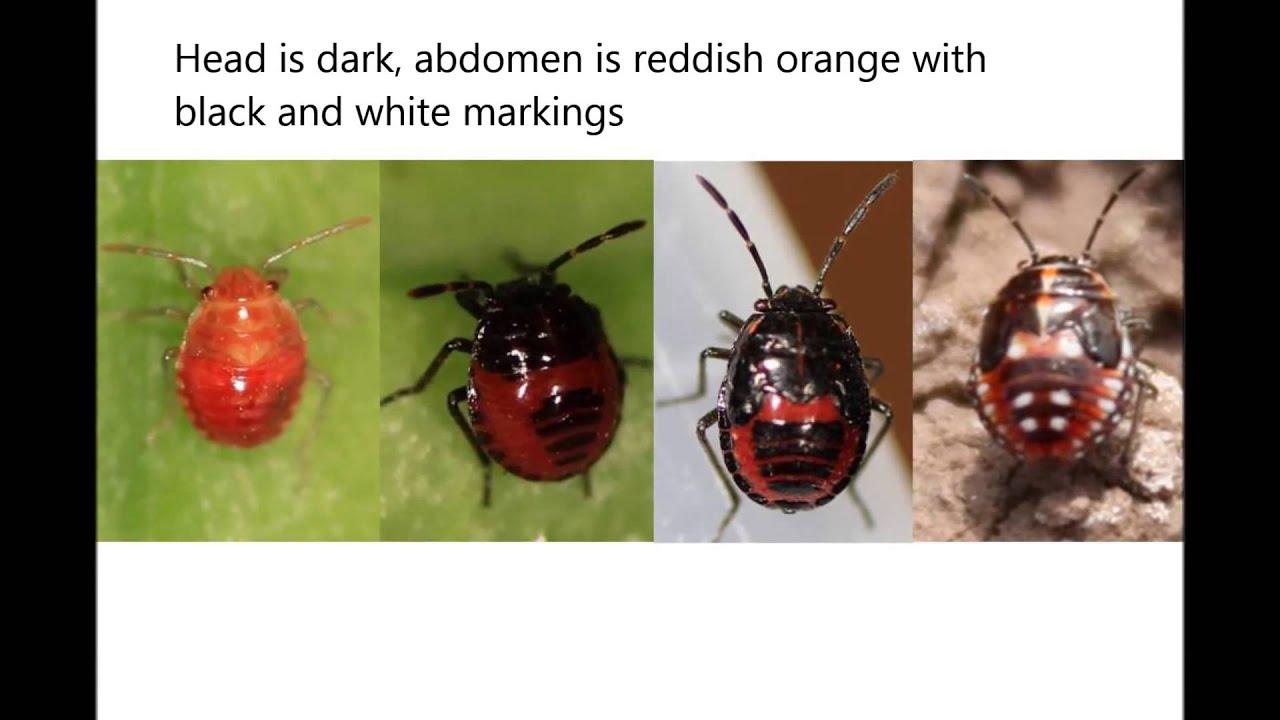 ugró paraziták