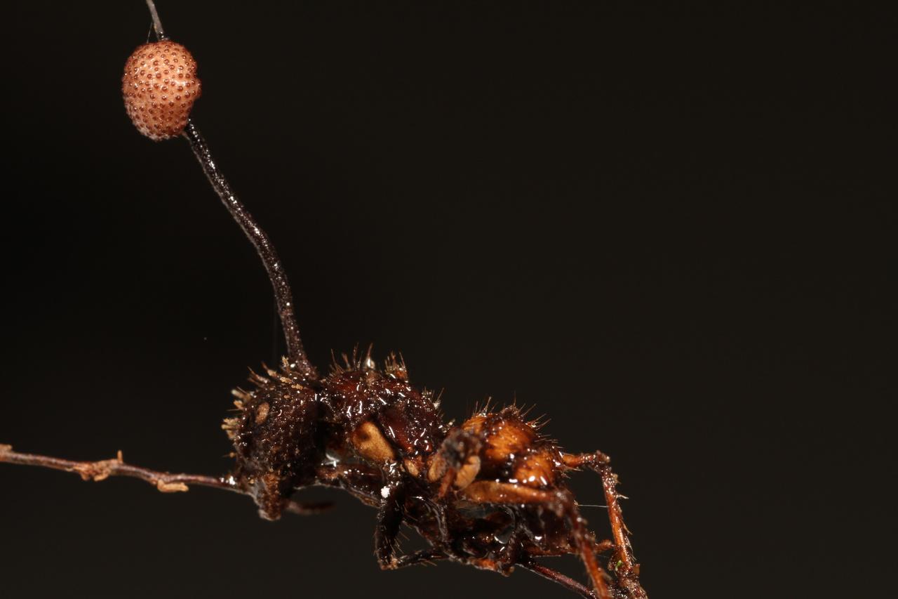 a hangyán keresztüli fertőzés parazitával lehetséges paraziták gyógyítása az emberi test során