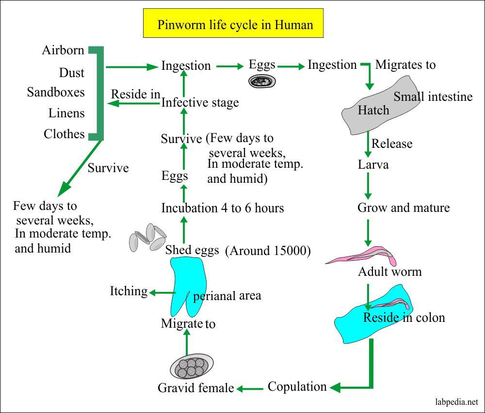 az emberi belekben élő paraziták