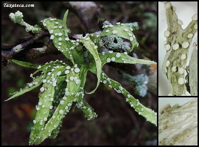 parmelia parazita paraziták a hörgőkben