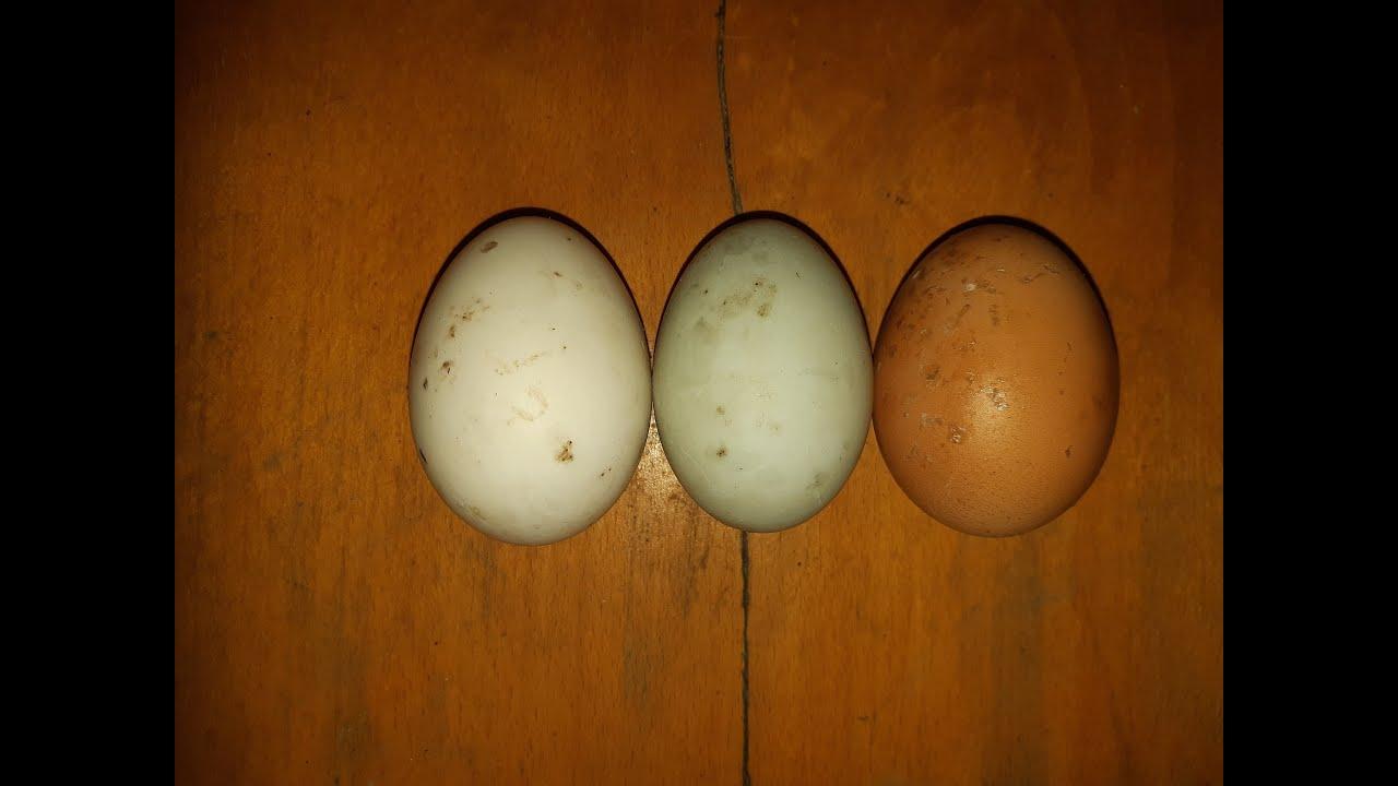 érett körömféreg- tojás ascaris élőhely