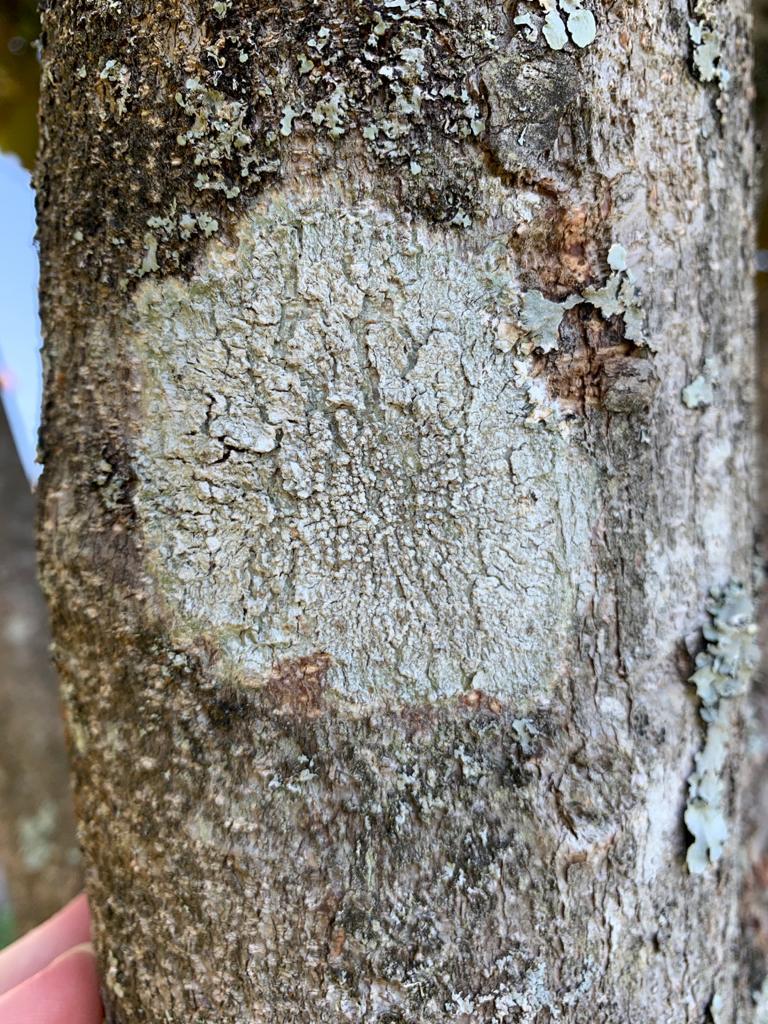 parmelia parazita az aceton szaga az ok szájából kezelés