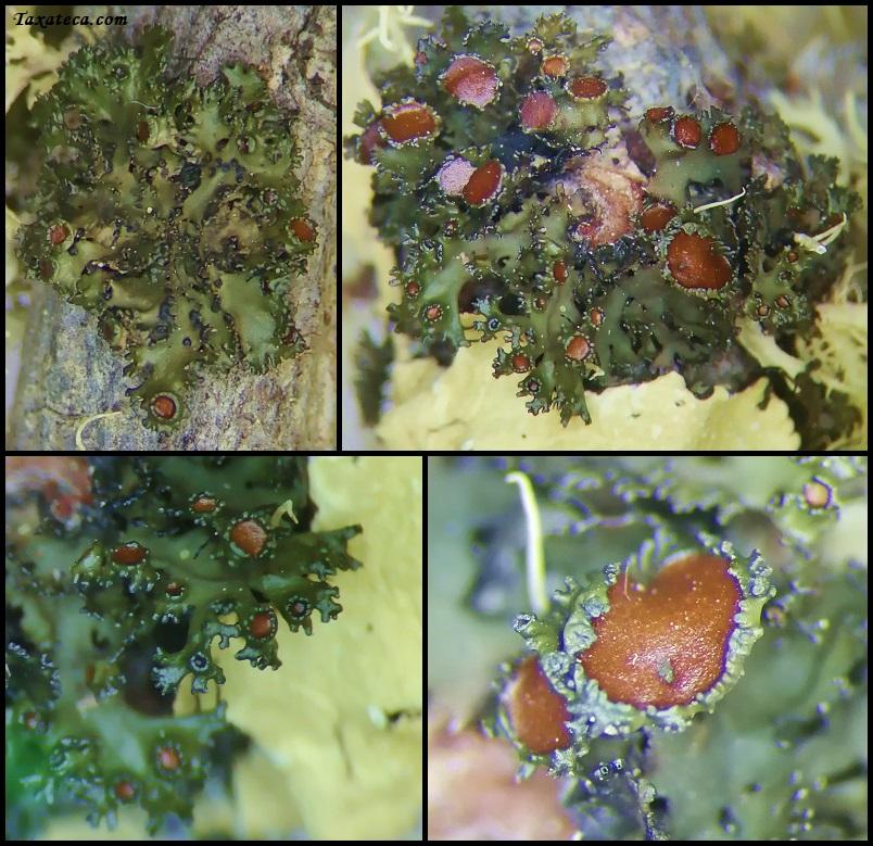 parmelia parazita pinworms ártalmas az emberekre