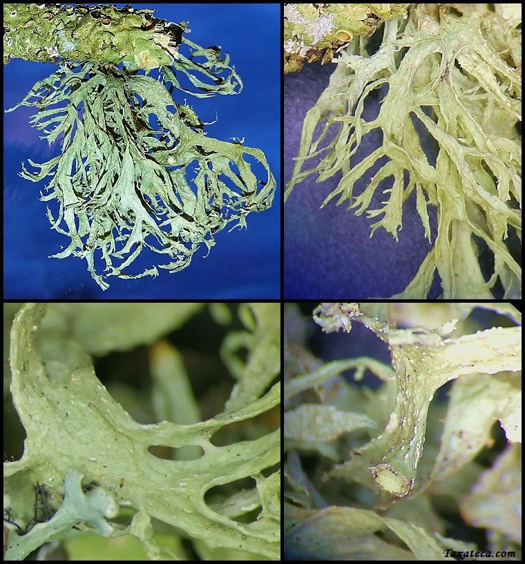 parmelia parazita kezelni galandféreg