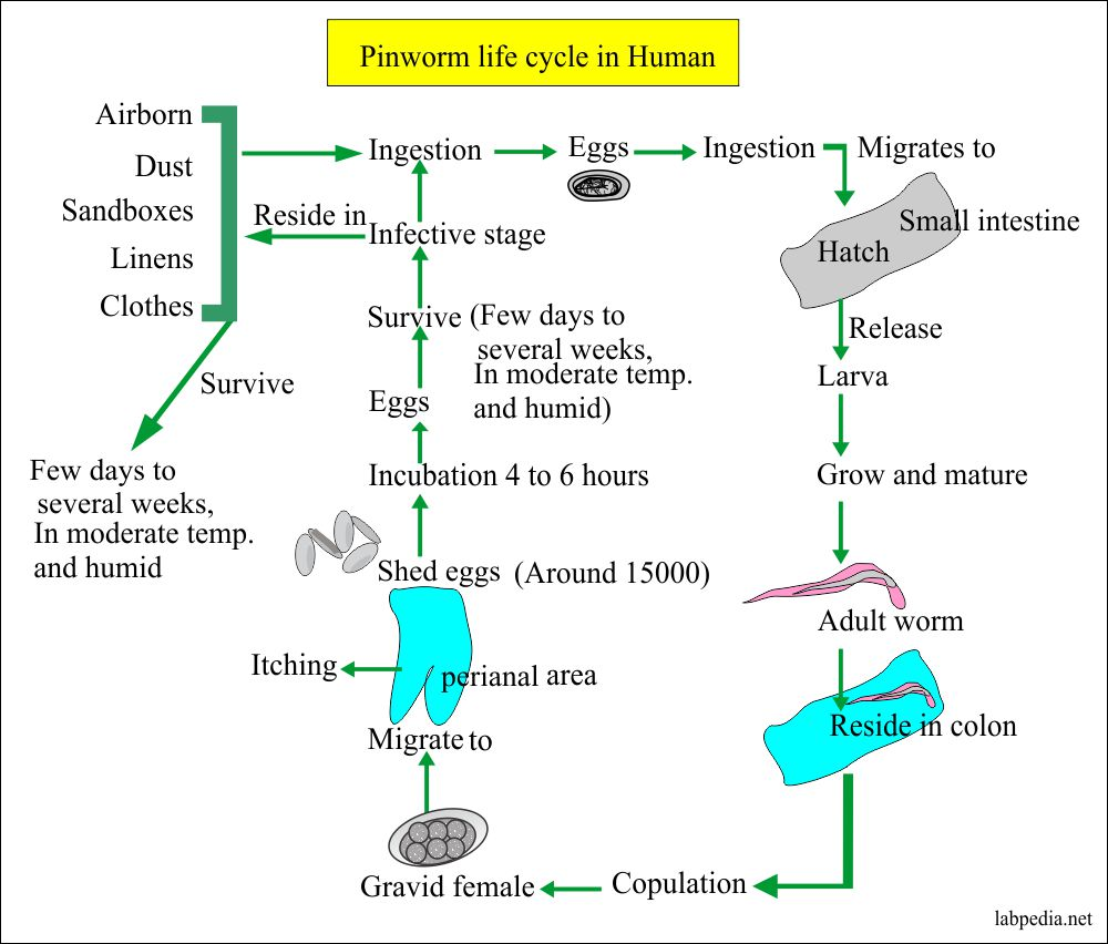 Hogyan lehet megölni a pinworm tojásokat Sárga nagy tabletták a férgek számára
